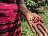 Uganda-Reise 2018: Kaffee ala Mbale